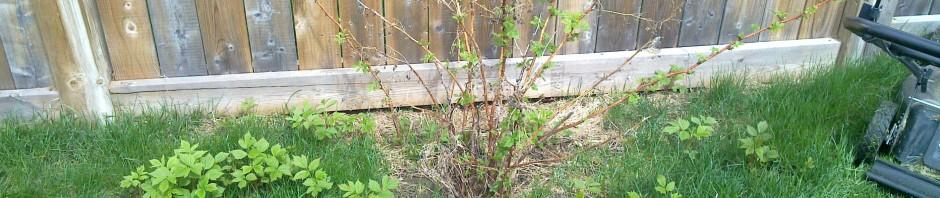 "Raspberry ""Bushing"""